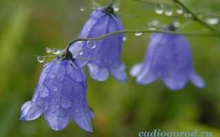 Как выглядит цветок колокольчик