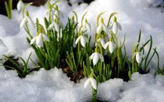 Как называются первые весенние цветы