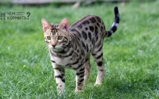Чем можно кормить бенгальского котенка
