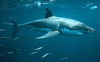 Почему акулы никогда ничем не болеют