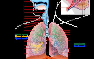За что отвечает дыхательная система