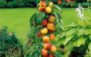 Что такое колоновидные деревья