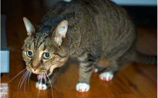 Почему кот постоянно кашляет