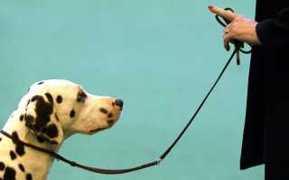 Как приучить собаку к поводку