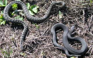Какие змеи водятся в Татарстане