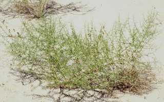 Верблюжья колючка в пустыне описание