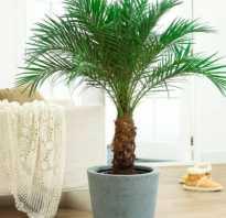 Какие есть виды домашних пальм