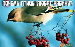 Какие птицы клюют рябину зимой