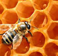 Как пчёлы из нектара делают мёд