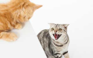 Как подружить кота и котенка