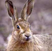 Какие существуют виды зайцев