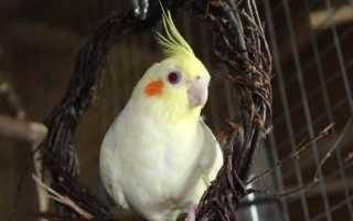 Сколько живет попугай Корелла