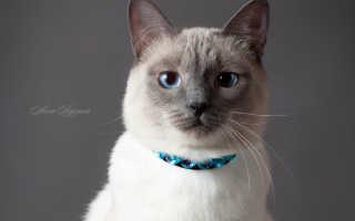 Какой характер у тайской кошки