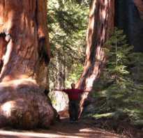 Какое дерево самое большое в мире
