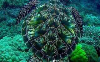 Как черепахи дышат под водой