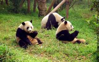 Что будет если не будет панд