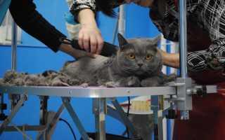 Можно ли стричь британских кошек