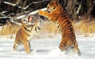 Как сохранить амурского тигра