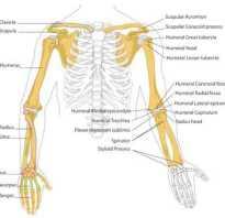 Из каких костей состоит скелет кисти