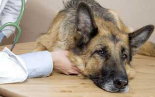 Аденовироз у собак как лечить