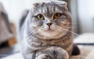 Какой характер у шотландской кошки
