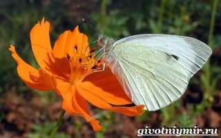 Как выглядят бабочки капустницы