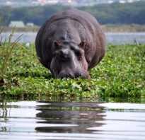 Почему бегемоты такие толстые