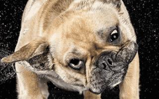 Почему собака трясёт головой