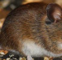 Какие звуки отпугивают мышей
